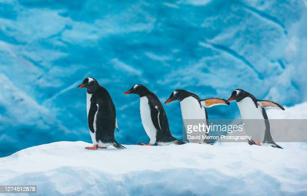 four gentoo penguins walk along a snow bank - 南極海峡 ストックフォトと画像