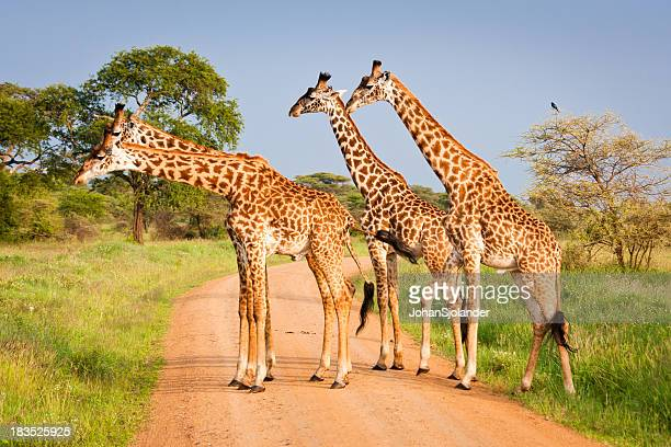 Quattro le giraffe nel Parco Nazionale del Serengeti, Tanzania