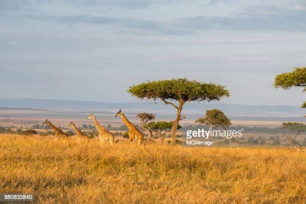 Four giraffes in the savannah