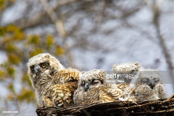 Four Great Horned Owl (Bubo Virginianus) Chicks, Edmonton, Alberta, Canada