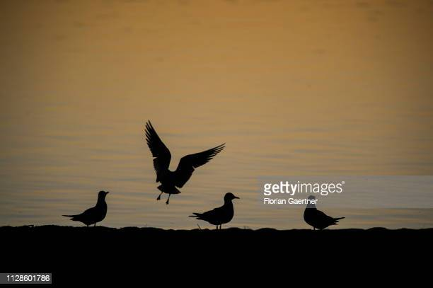 Four gulls are pictured on the lake Berzdorfer See on February 24 2019 in Goerlitz Germany