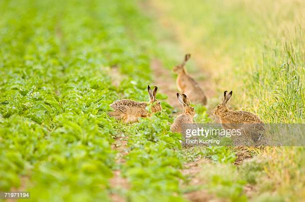 Four hares playing in field