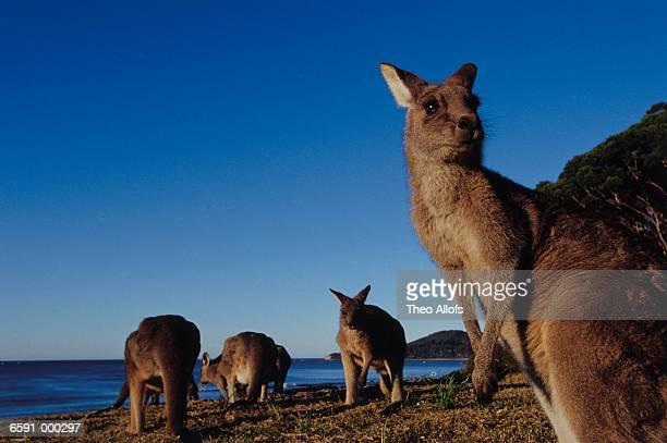 Four Kangaroos on Beach