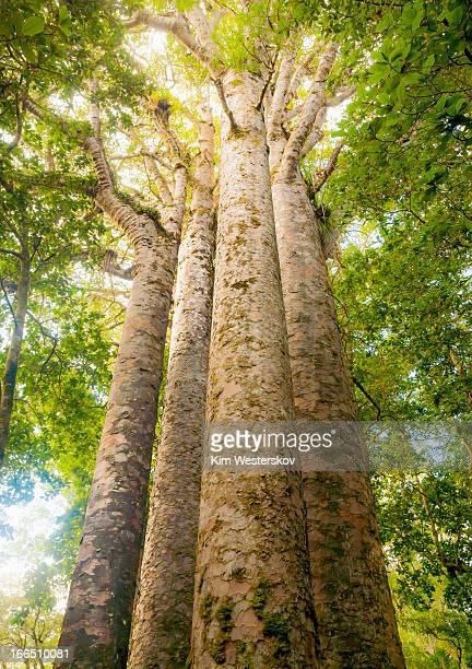 Four Kauri trees, Waipoua Forest