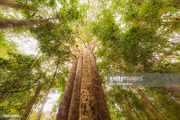 Four Kauri trees, Waipoua Forest
