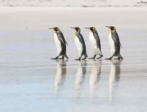 Four King Penguins on a beach 157310441