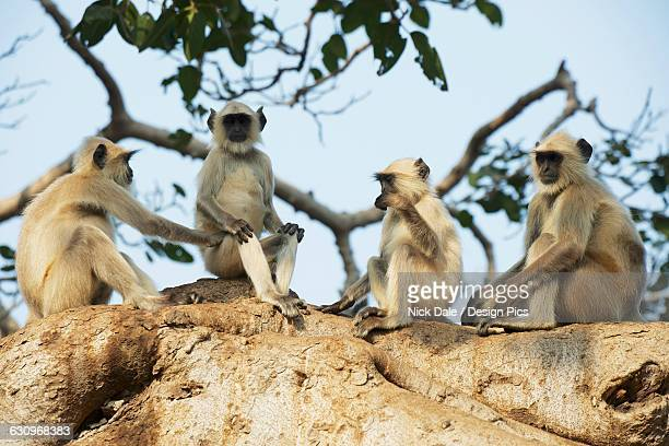 Four langurs sitting in a tree