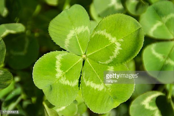 Four Leaf Clover Good Luck Charm for Aspiration Search, Discovery