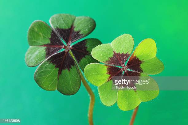 four leaf clover - clover stock photos and pictures