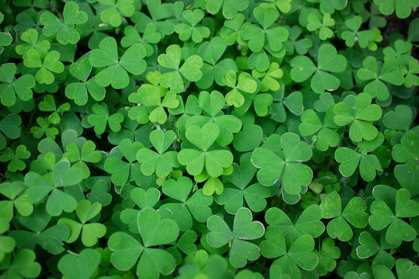 Four leaf clovers (Marsilea quadrifolia)