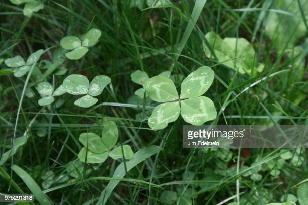 four leaf clovers - four leaf clover stock pictures, royalty-free photos & images