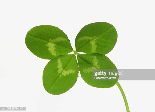 four leaved clover on white background - 4 leaf clover stock-fotos und bilder