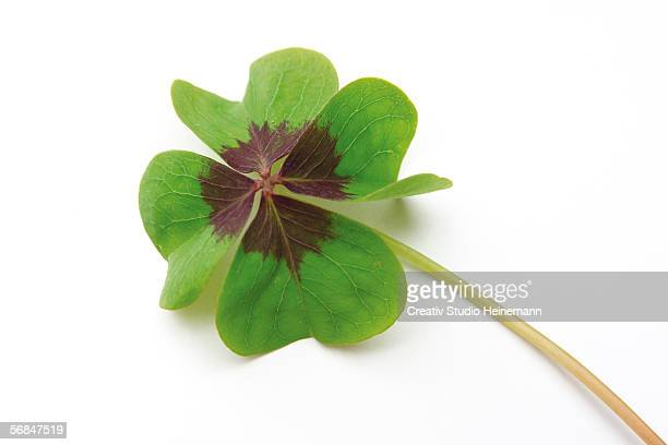 four leaved clover - clover stock photos and pictures