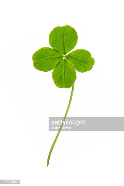 Four leaves clover isolated