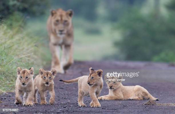 four lion cubs and lioness on road, kruger national park, south africa - kruger national park stock pictures, royalty-free photos & images