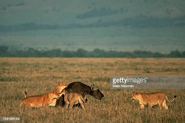Four Lionesses capturing a buffalo