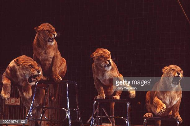 four lionesses performing tricks in circus arena - tame stock photos and pictures