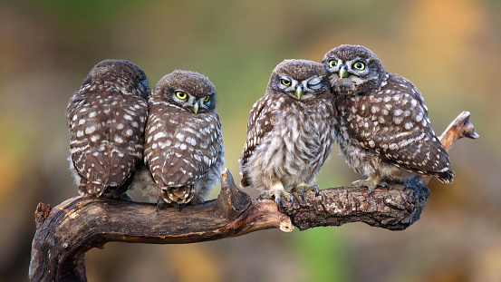Four little owls sitting in pairs on a stick 954198104