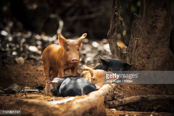 four little pigs - pinar del rio stock photos and pictures