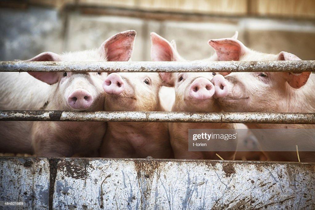 Vier kleine Schweinen. : Stock-Foto