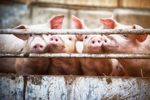 Four little pigs. 484521569