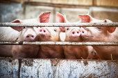 Four little pigs.