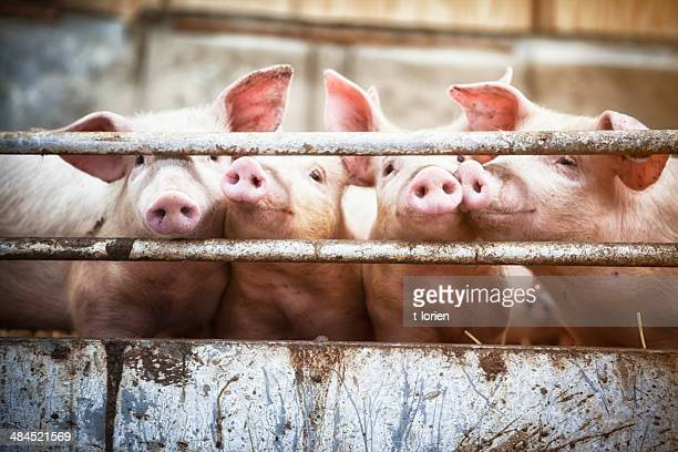 four little pigs. - confined space stock pictures, royalty-free photos & images