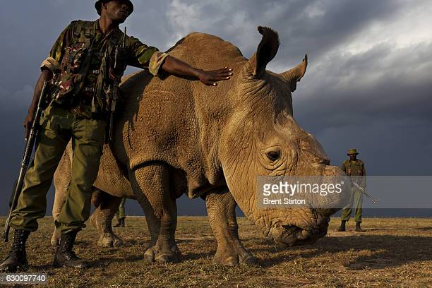A four man antipoaching team permanently guards a male Northern White Rhino named Sudan on Ol Pejeta Conservancy in Kenya on July 13 2011 The Ol...