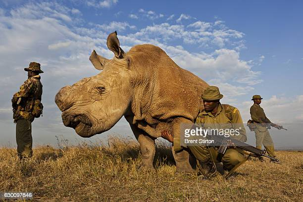 A four man antipoaching team permanently guards a Northern White Rhino on Ol Pejeta Conservancy in Kenya on July 13 2011 The Ol Pejeta Conservancy is...