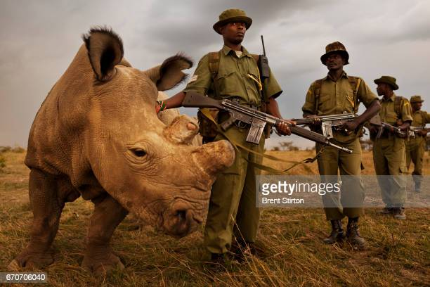 A four man antipoaching team permanently guards Northern White Rhino on Ol Pejeta Conservancy in Kenya 13 July 2011 The Ol Pejeta Conservancy is an...