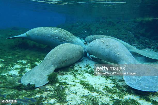 four manatees congregate to feed on algae at fanning springs state park, florida. - florida manatee stock pictures, royalty-free photos & images