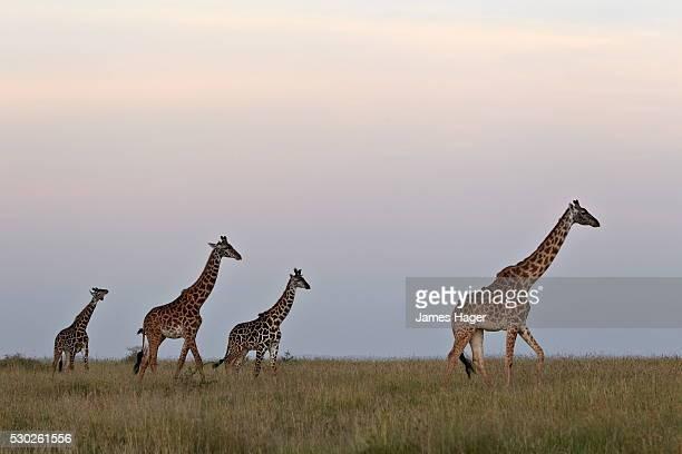 Four Masai giraffe (Giraffa camelopardalis tippelskirchi), Serengeti National Park, Tanzania, East Africa, Africa