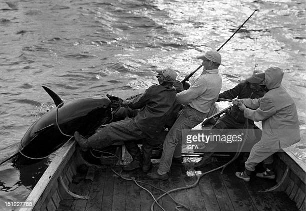 Four men hoist a large bluefin tuna aboard a fishing boat in Nova Scotia Canada circa 1950