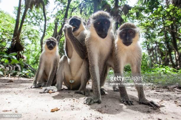 Four Monkeys, West Africa
