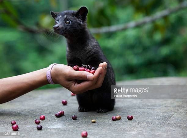 A four month old Luwak is tempted by some red coffee beans at the BAS Coffee plantation January 20 2011 in Tapaksiring Bali Indonesia The Luwak...