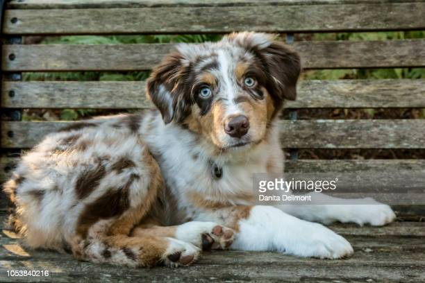 four month old red merle australian shepherd puppy (canis familiaris) lying on bench, issaquah, washington state, usa - australian shepherd puppies stock pictures, royalty-free photos & images