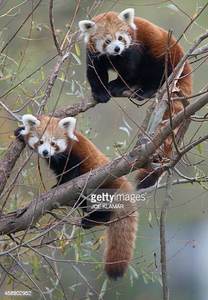 A four months old red panda cub and its father feast on tree branches at Bratislava's Zoo on November 13 2014 Two cubs Pim and Pam were born to...