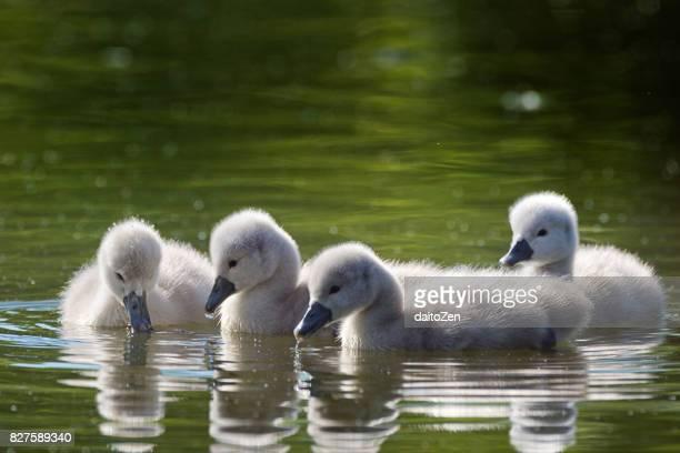 Four Mute swan (Cygnus olor) cygnets swimming in lake, Munich, Bavaria, Germany