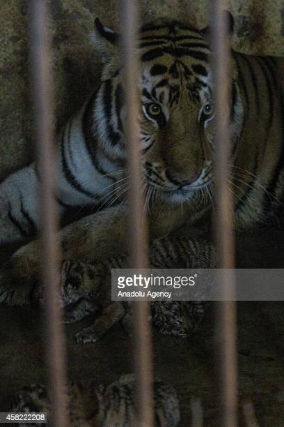 Four newly born cubs of Bengal tiger lie inside a cage with their mother Manis at the Mangkang zoo in Semarang Central Java Indonesia on November 01...