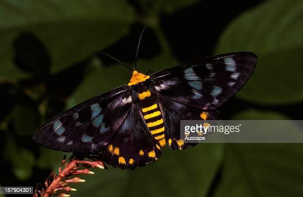 Four o'clock moth a dayflying moth adult Northern Australia