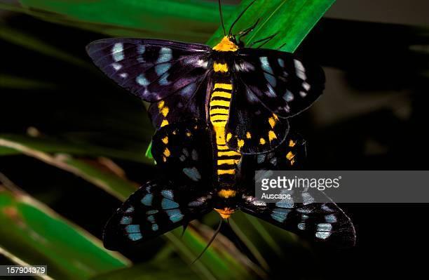 Four o'clock moths dayflying mating Northern Australia