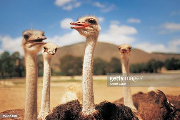 Four Ostriches Looking Around in Grassland, Stellenbosch, South Africa