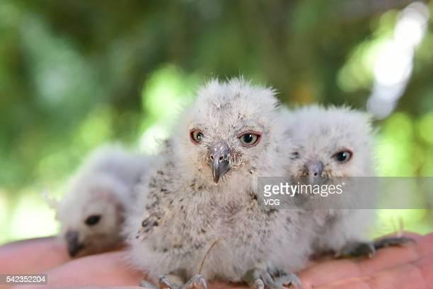 Four owlets are seen at Zhengzhou Municipal Bureau of Forestry Wildlife Rescue Center on June 22 2016 in Zhengzhou Henan Province of China A taxi...