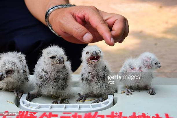 Four owlets are seen at Zhengzhou Municipal Bureau of Forestry Wildlife Rescue Center on June 22 2016 in Zhengzhou Henan Province of China A taxi...