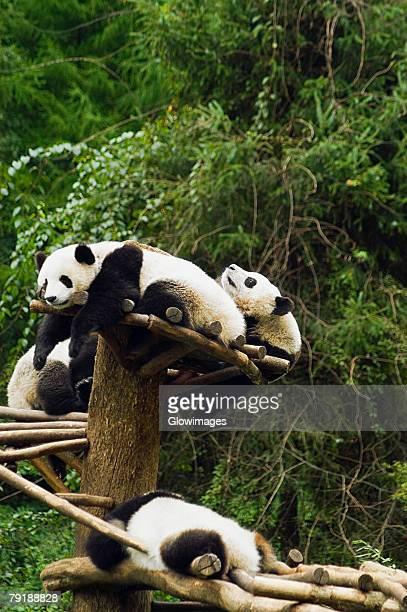 Four pandas (Ailuropoda melanoleuca) resting in a forest