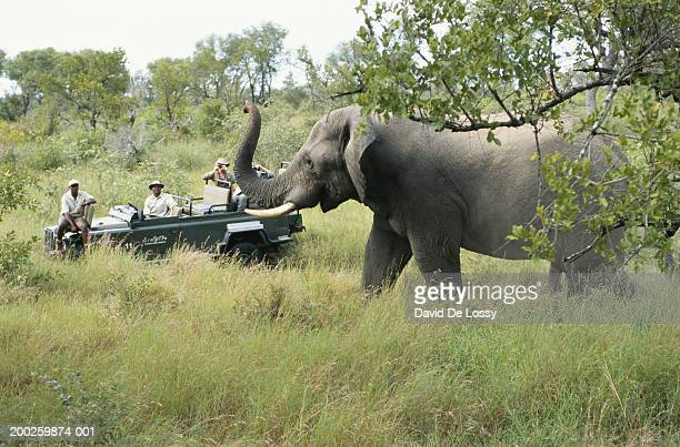Four people in off road vehicle watching elephant (Loxodonta africana)
