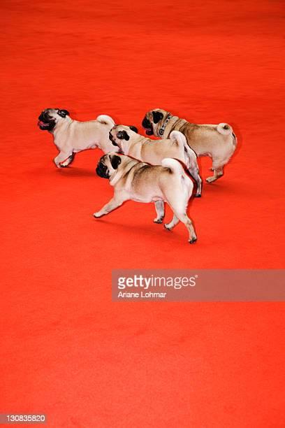 Four pugs walking red carpeting