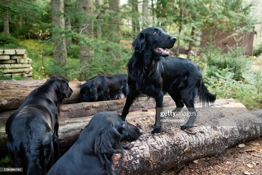 Four purebred flat-coated retrievers of the same family. : Stock Photo