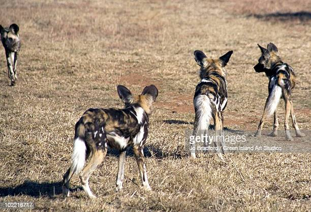 Four rare african wild dogs on patrol