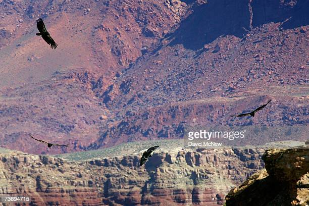 Four rare and endangered California condors fly over Marble Gorge east of Grand Canyon National Park on March 24 2007 west of Page Arizona Condor...